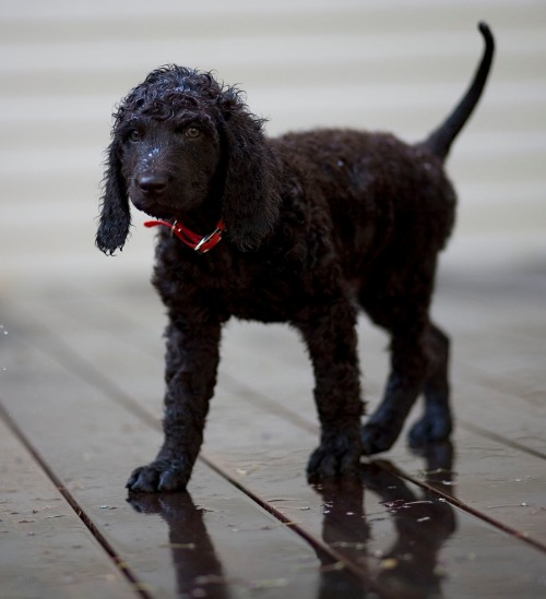 irish-water-spaniel_sm