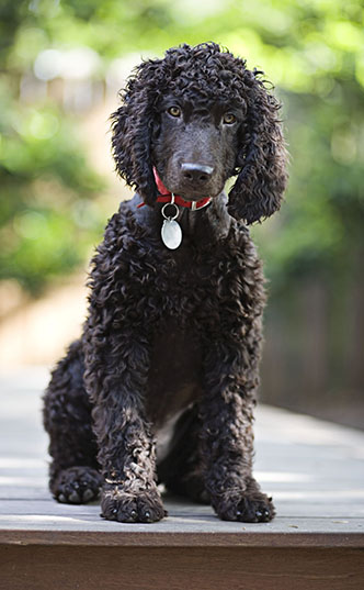 Irish Water Spaniel Grooming The Cooper Project