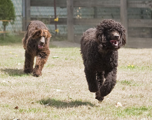 Tooey chases Cooper