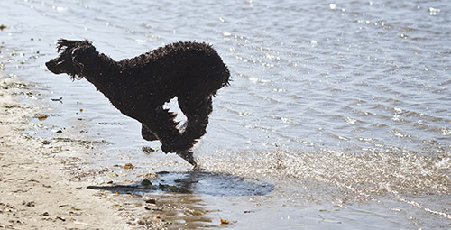 Tooey running in the surf