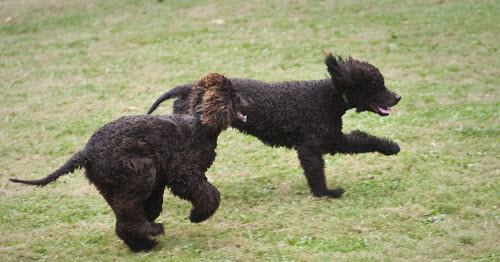 Tooey chasing Cooper