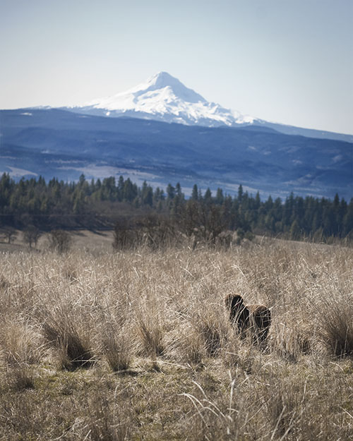 Mt. Hood and the Irish Water Spaniel