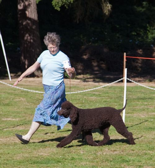 Cooper Irish Water Spaniel
