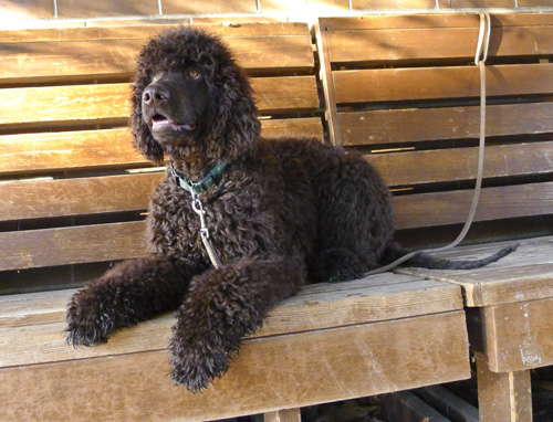 Irish Water Spaniel