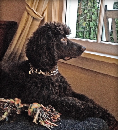 Jax Irish Water Spaniel