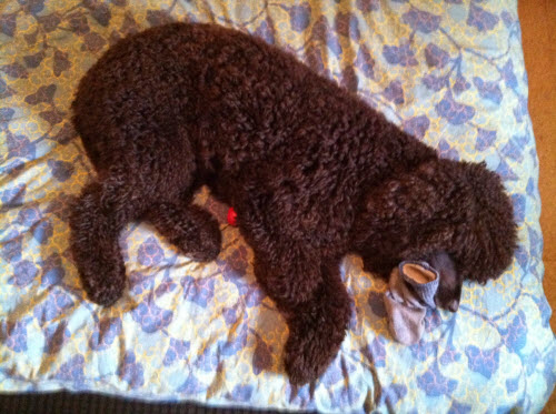 Tooey Irish Water Spaniel, Irish Water Spaniels, IWS