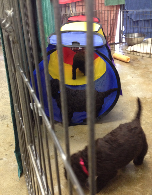 puppies_tunnel_130804