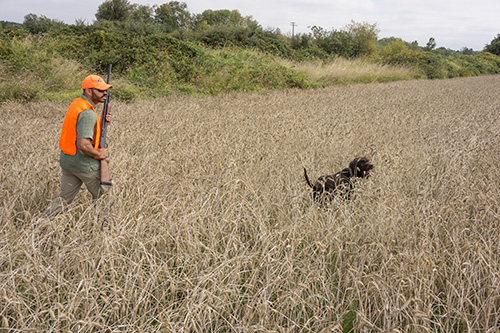Cooper and a novice hunter scour an oar field for the elusive pheasant