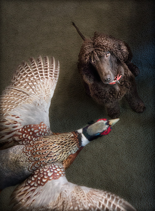 Tooey confirms that this is indeed a rooster pheasant flying through the dining room
