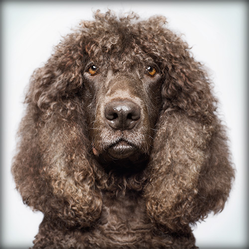 Irish Water Spaniel grooming