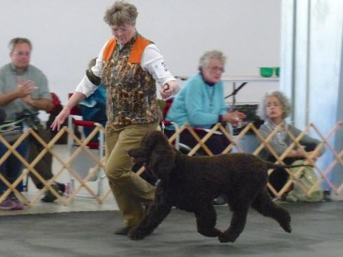 Cooper in Gun Dog class -- photo by Richard Liebaert
