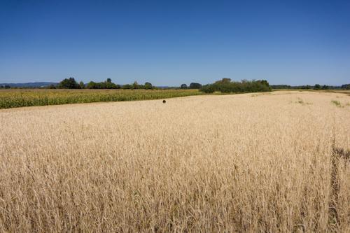 Cooper, Outstanding in his field of oats.