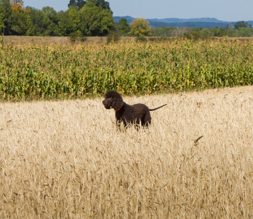 Cooper, on task in a sea of oats