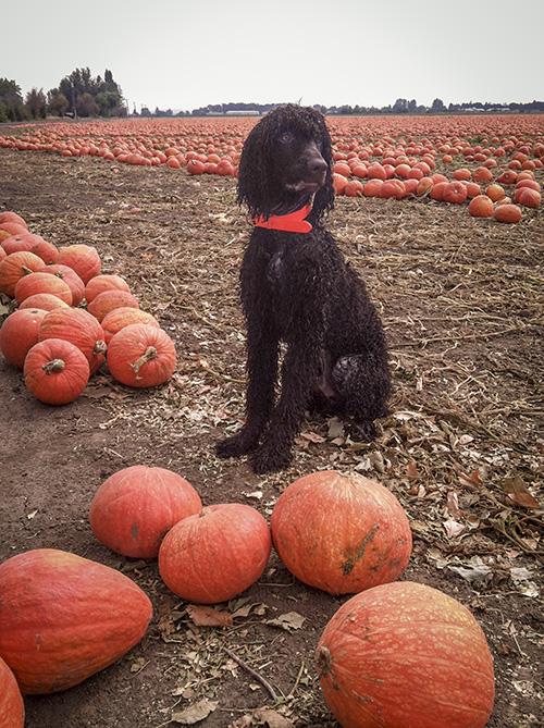 Carlin in the pumpkin field