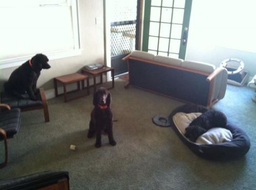 dogs_furniture