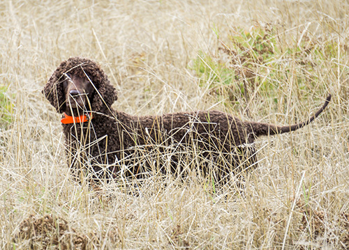 The very best hunting IWS in North America (based on bird count during real hunting)