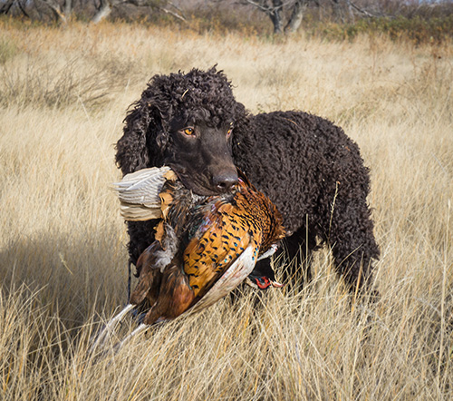 Carlin returning a big Montana rooster