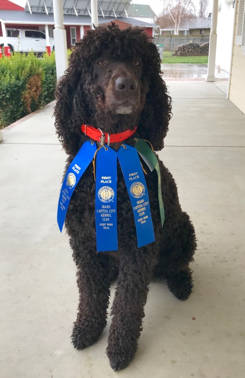 Irish Water Spaniel IWS with AKC Scent Work ribbons