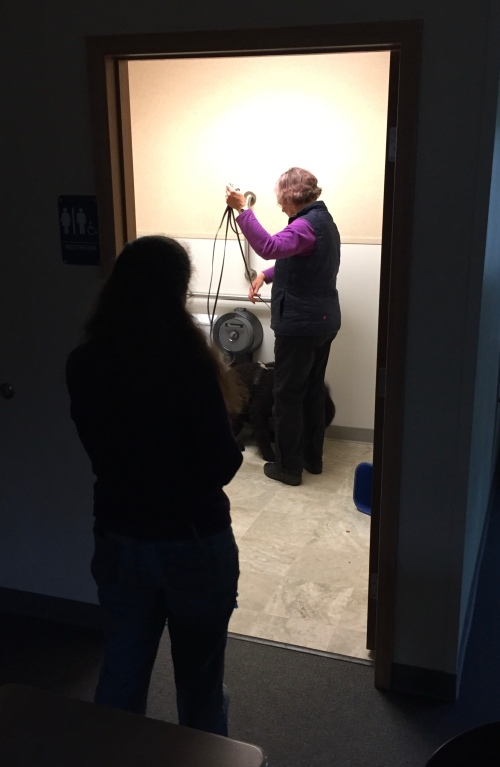 Irish Water Spaniel searching a bathroom in AKC Scent Work