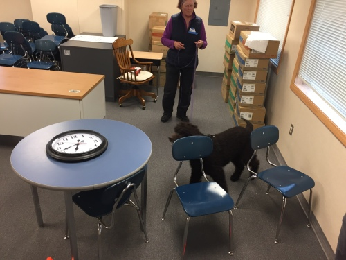 Irish Water Spaniel doing an AKC Scent Work Interior Master search