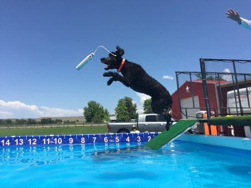 Irish Water Spaniel dock diving