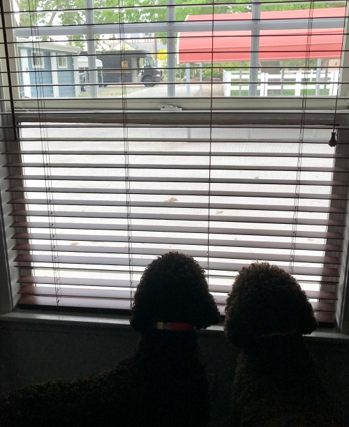 Irish Water Spaniels looking out a window at the UPS truck